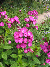 Some phlox growing on Monets Garden, Giverny, France