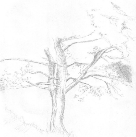 This is pencil drawing of a tree